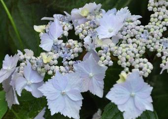 Hydrangea  serrata 'Blue Deckle' closeup inflorescence plate