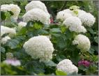 Hydrangea arborescens 'Incrediball'syn 'Strong Annabelle'