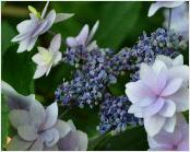 HydrangeamacrophyllaIzuNr11VNShamrockcollection